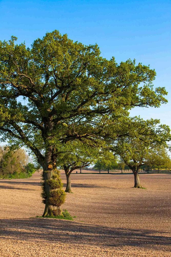 Eichen im Feld südwestlich Wankendorf_gepflegtes Land aus Bauernhand.