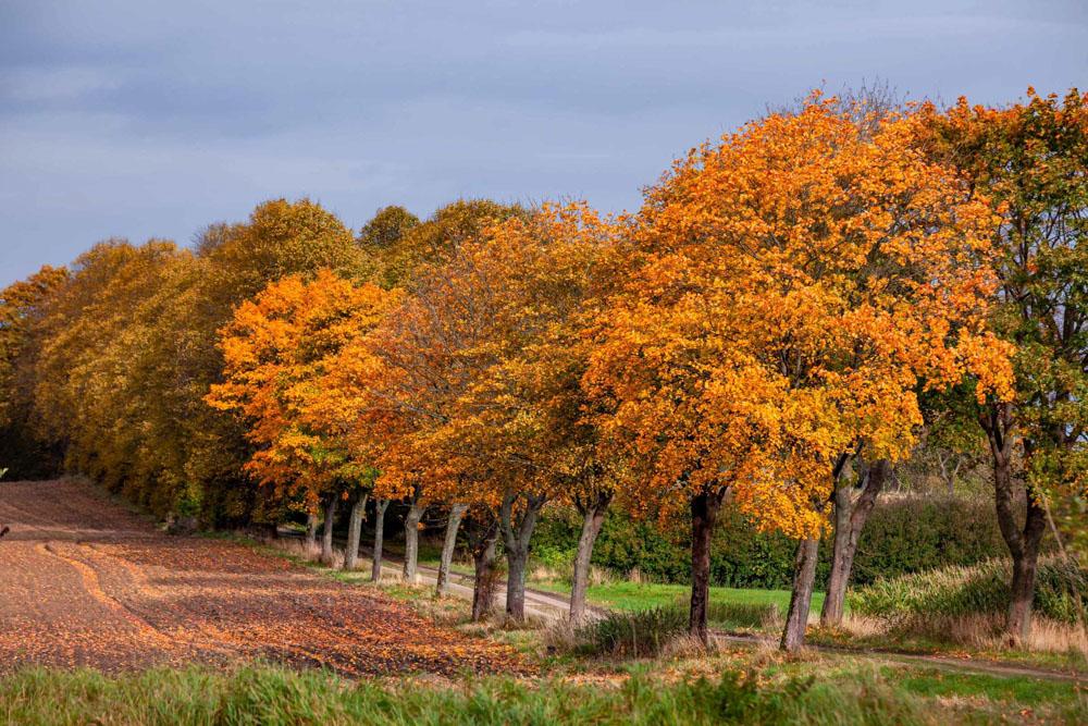 Herbstallee_in_Bokhorst