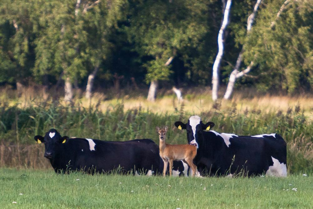 Wildnis trifft Landwirtschaft. Ein Rehbock in der Rinderherde.