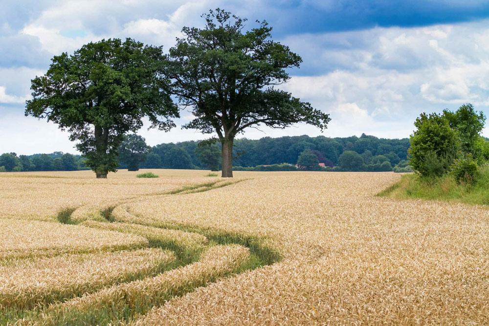 Weizen auf Alt-Bokhorst