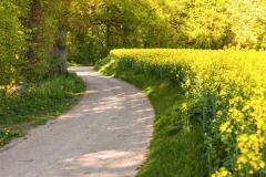 Feldweg_Alt-Bokhorst_Raps triift Wald