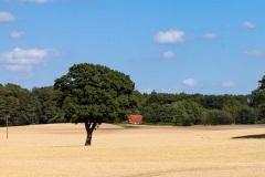 Getreidefelder im Sommer vor der Ernte.