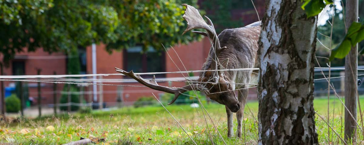 Damhirsch aus dem Dosenmoor starb in Weidezaun – Jäger konnten das Tier nicht mehr retten