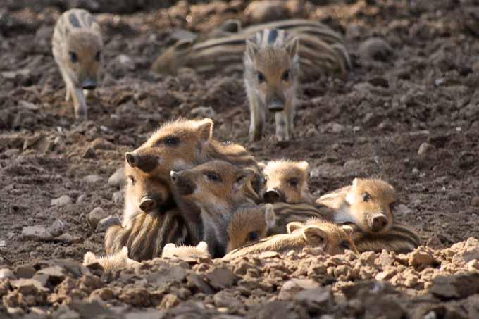 Frischlingsfest im Erlebniswald: Frischlinge lässt die neue Frühlingsmode kalt. Die wenige Tage alten kleinen Wildschweine setzen auf Streifenlook.