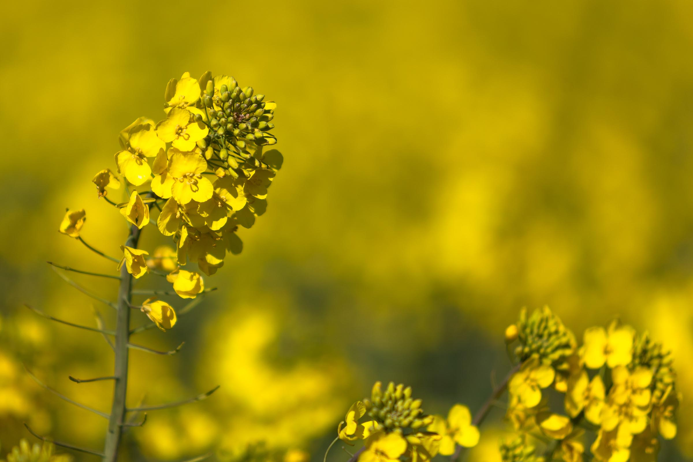 Die Rapsblüte zieht sich wie ein goldenes Osterband übers Land