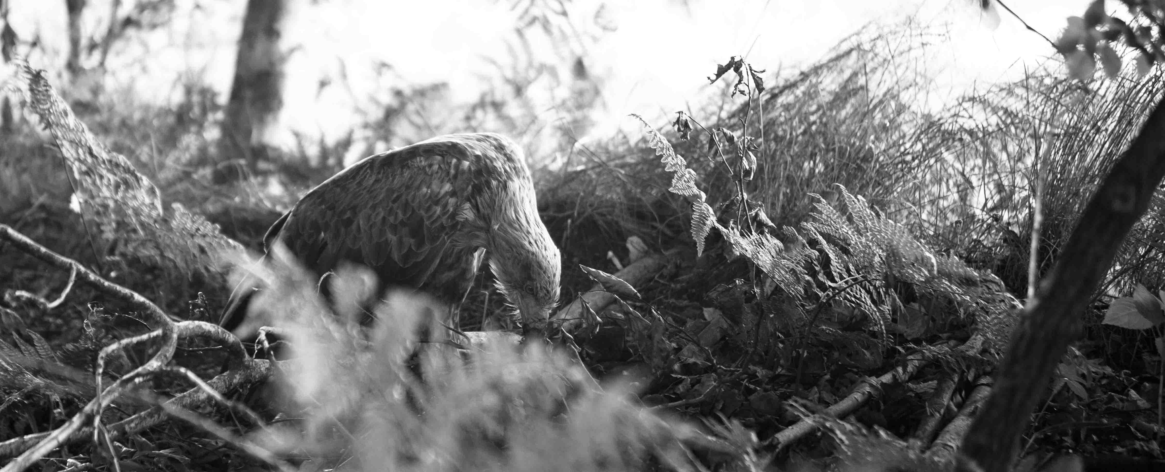 Verletzter Seeadler wog nur noch 2,5 Kilogramm. Großharrieer Jäger konnten Pfingsten einen verletzten Seeadler bergen.