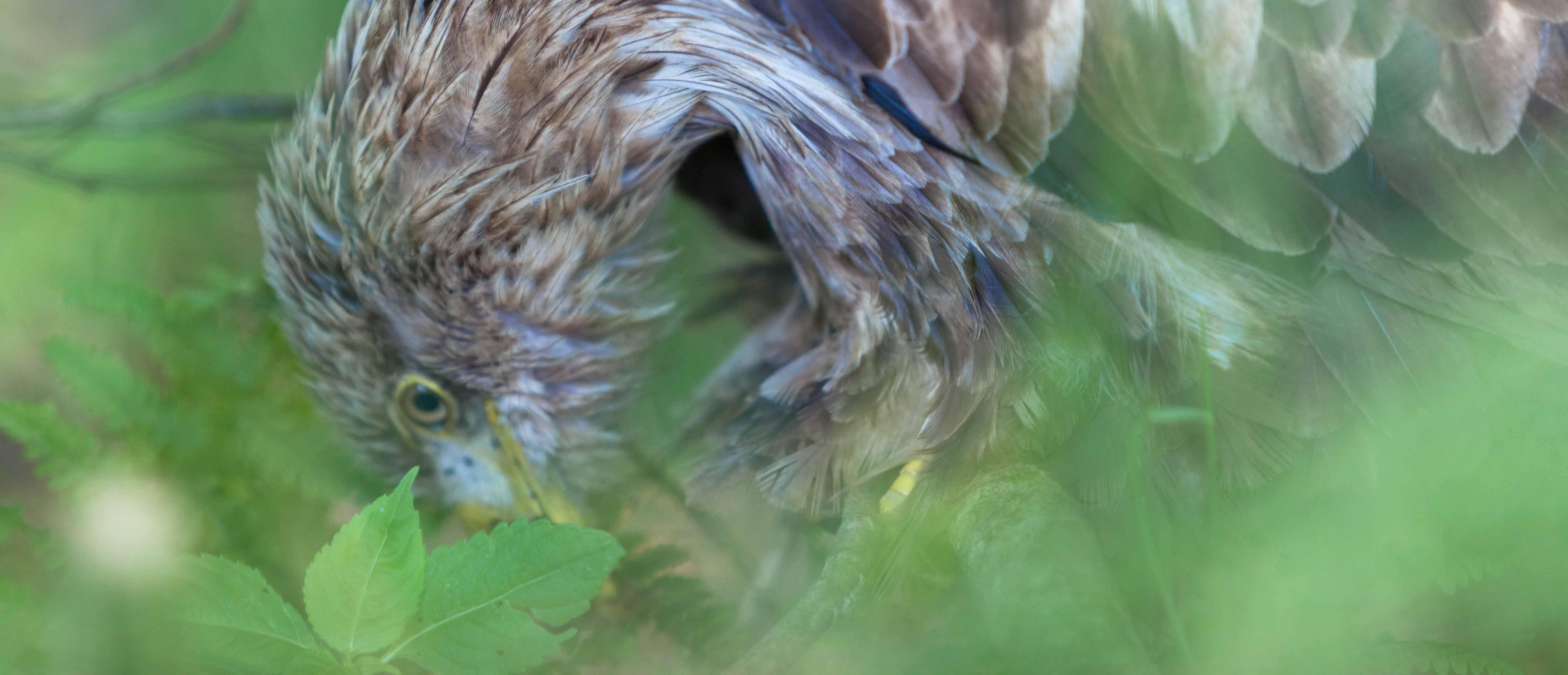 Der verletzte Seeadler aus Großharrie im Kreis Plön ist tot