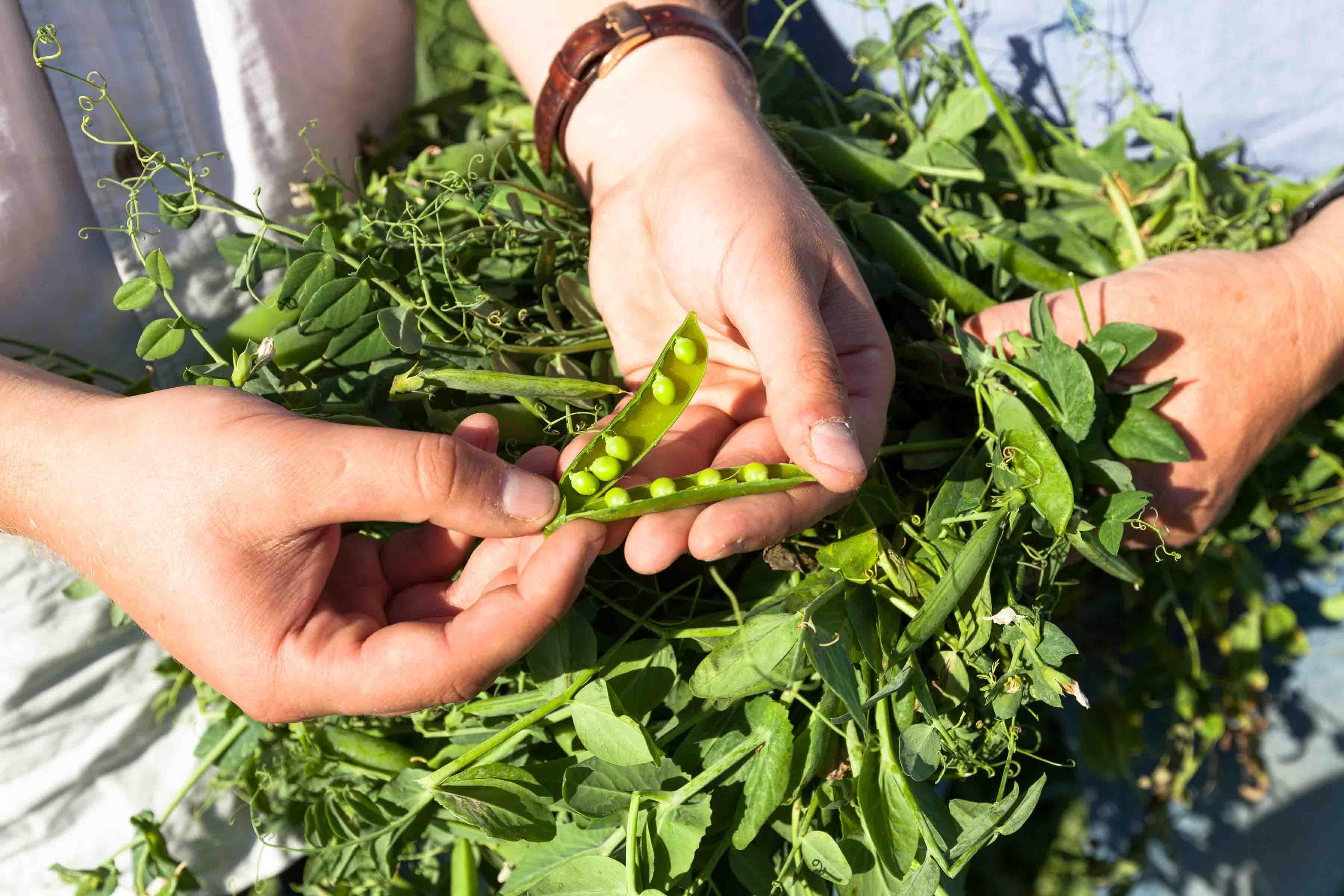 Klein, grün, kugelig und zuckersüß – auf Gut Altbokhorst in Schillsdorf im Kreis Plön gibt es wieder frisch gepalte Zuckererbsen.