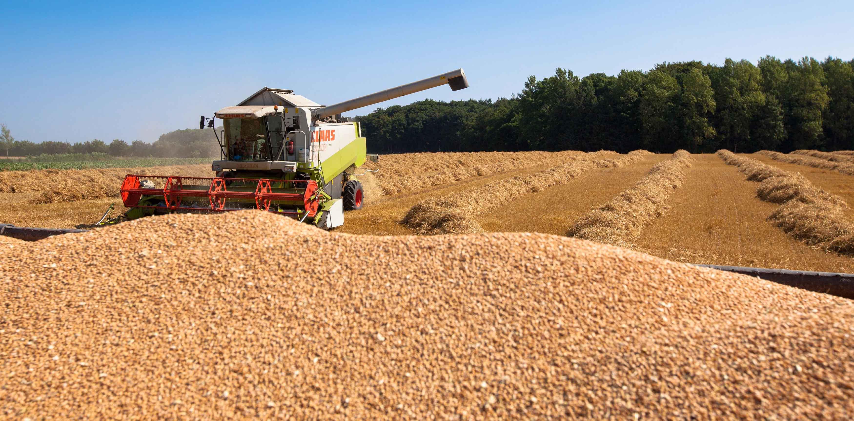 Bei der Getreideernte gab es große Standortunterschiede. Nach dem Spitzenerntewetter droht der Mais stellenweise zu verkümmern. Es fehlt Regen.