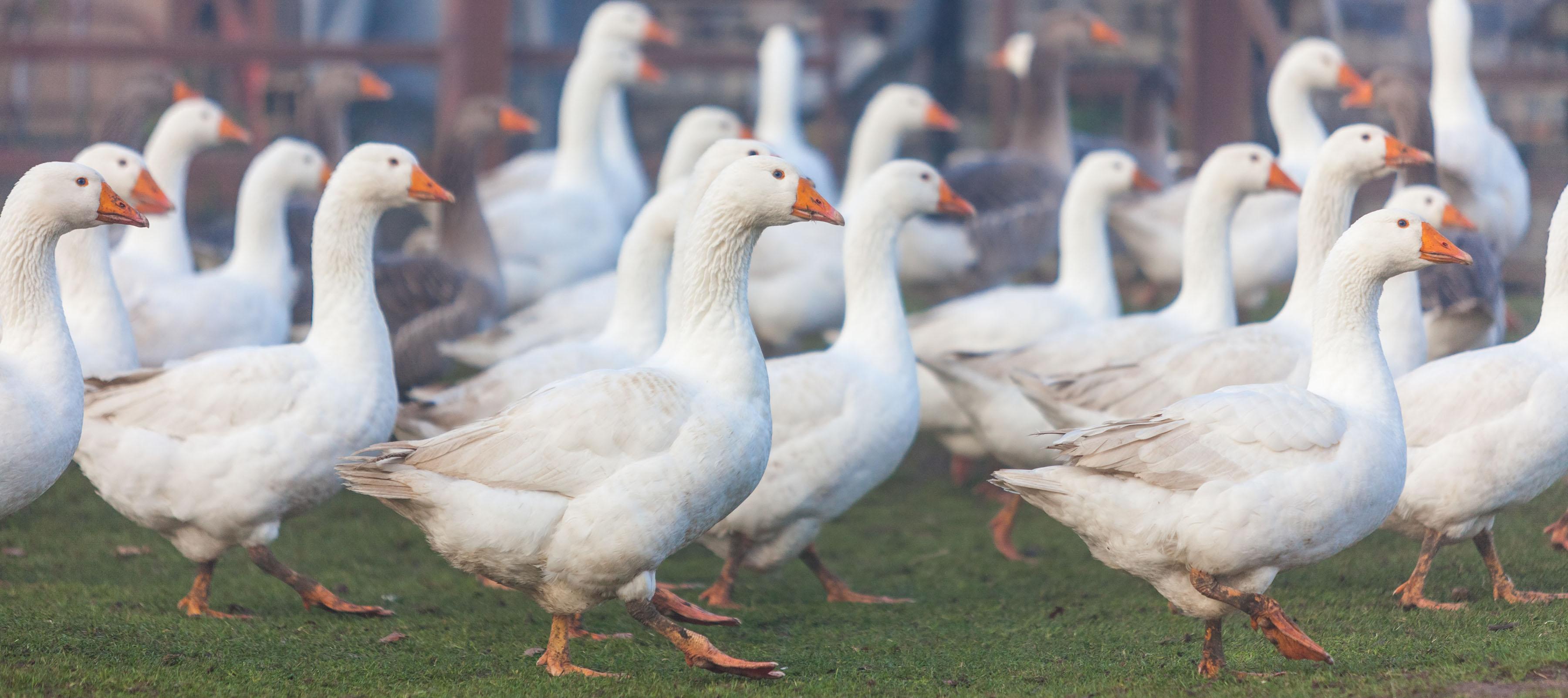 Der neue Vogelgrippevirus H5N8 sorgt für Aufregung im Land – kein Grund zur Panik, meint Gänsehalter Sven Voigt aus Tasdorf bei Neumünster