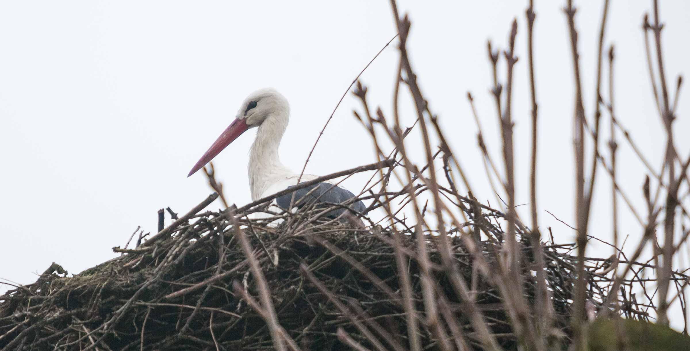 Erste Frühlingsboten kündigen ein zeitiges Frühjahr an – in Großharrie im Kreis Plön ist der erste Storch aus dem Winterrevier zurückgekehrt