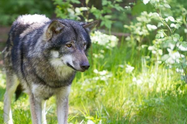 Begrüßter Heimkehrer oder verhasster Feind? Die Rückkehr der Wölfe löst nicht überall Freude aus. Besonders Schafhalter sind in Aufruhr.(Gehege Eekholt)