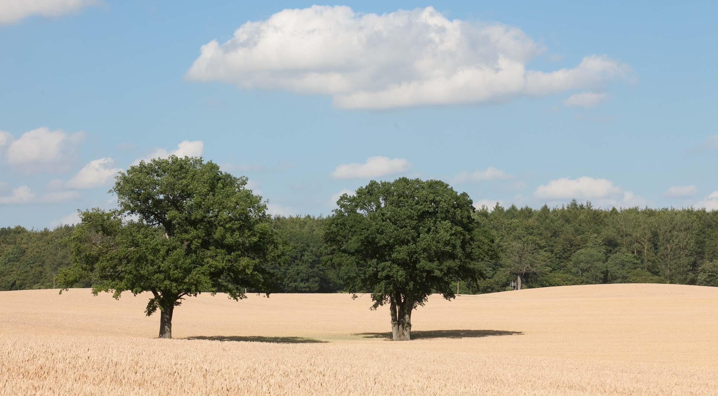 Die Getreideernte hat mit Verspätung begonnen. Kühle Temperaturen und fehlender Regen haben den Erntebeginn nach hinten verschoben