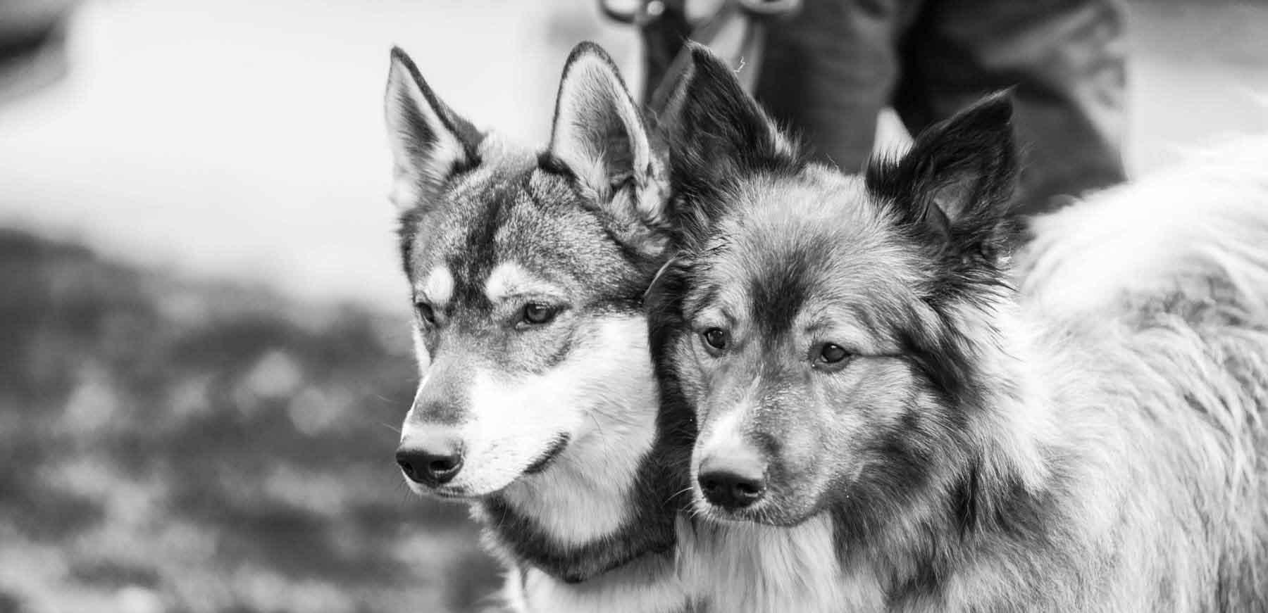 Im Erlebniswald Trappenkamp gingen beim traditionellen Schlittenhunderennen des Schlittenhundevereins Nord e.V. über 100 Gespanne an den Start