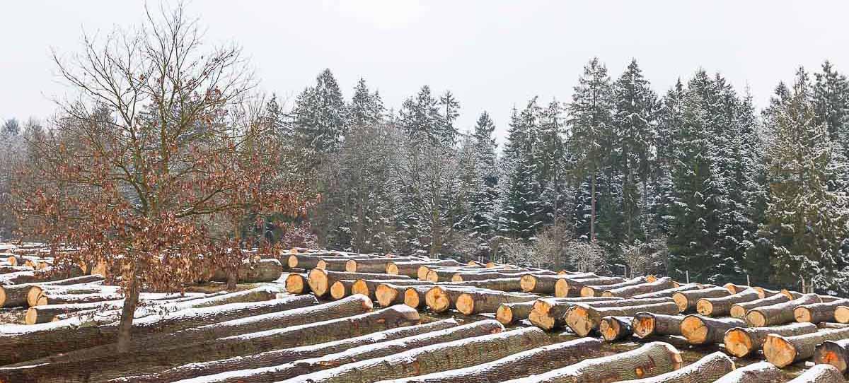 Die Schleswig-Holsteinische Wertholzsubmission schloss mit einem erfreulichen Ergebnis. Insgesamt wurde jetzt in Lanken und Daldorf Holz für rund 1,4 Millionen Euro verkauft. Damit erwirtschafteten Schleswig-Holsteins Waldbewirtschafter rund 150.000 Euro mehr als im Vorjahr