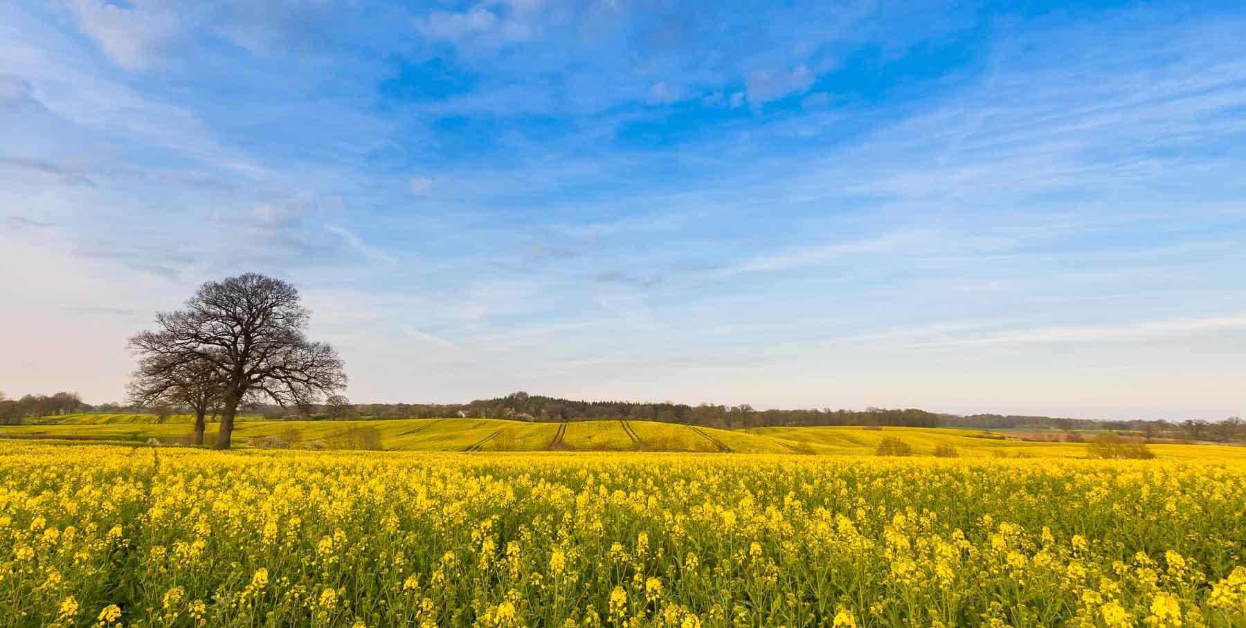 In Schleswig-Holstein färbt der Raps die Felder gelb