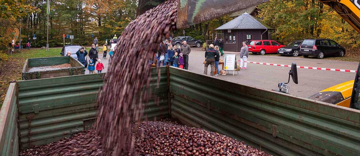Reichlich Futter für das Wild im Erlebniswald – Besucher hatten massenweise Kastanien und auch Eicheln gesammelt