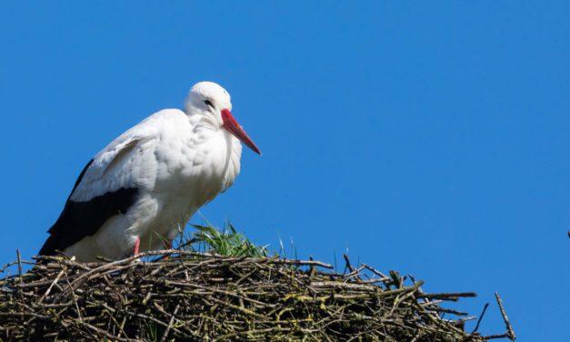 Die ersten Störche sind zurück. In Großharrie sind die Anwohner gespannt, ob es dieses Jahr wieder ein Brutpaar gibt.