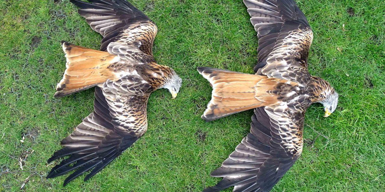 Wer macht Jagd auf Schleswig-Holsteins Rotmilane und Seeadler? Allein im Raum Neumünster wurden 11 tote Rotmilane gemeldet.