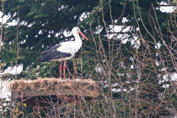 Zunächst hat ein Storch begonnen, das Nest auf Hof Röpke herzurichten und einige Nächte auf dem Nest verbracht.